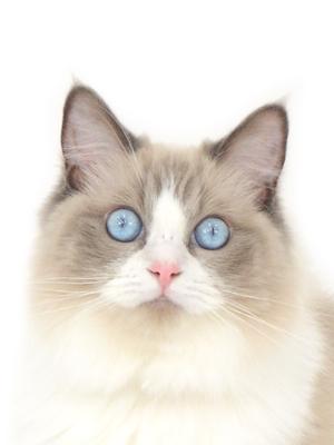 エムドッグス,動物プロダクション,ペットモデル,ペットタレント,モデル猫,タレント猫,ラグドール,ラム