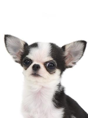エムドッグス,動物プロダクション,ペットモデル,ペットタレント,モデル犬,タレント犬,チワワ,シエル