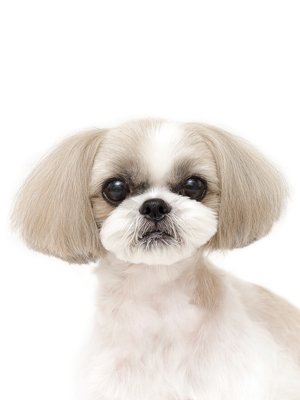 エムドッグス,動物プロダクション,ペットモデル,ペットタレント,モデル犬,タレント犬,シーズー,MIREI,ミレイ
