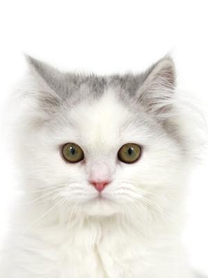 エムドッグス,動物プロダクション,ペットモデル,ペットタレント,モデル猫,タレント猫,スコティッシュフォールド,ケリー