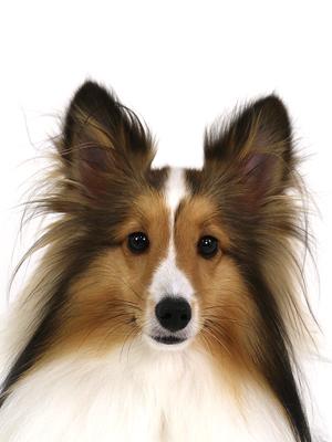 エムドッグス,動物プロダクション,ペットモデル,ペットタレント,モデル犬,タレント犬,シェットランドシープドッグ,カイ