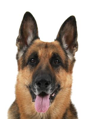 エムドッグス,動物プロダクション,ペットモデル,ペットタレント,モデル犬,タレント犬,ジャーマンシェパードドッグ,アリオン