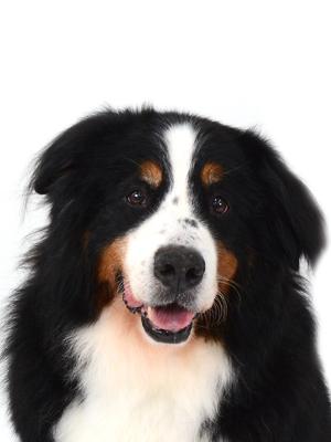エムドッグス,動物プロダクション,ペットモデル,ペットタレント,モデル犬,タレント犬,バーニーズマウンテンドッグ,ベン