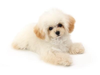 エムドッグス,動物プロダクション,ペットモデル,ペットタレント,モデル犬,タレント犬,トイプードル,ふわり