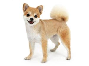 エムドッグス,動物プロダクション,ペットモデル,ペットタレント,モデル犬,タレント犬,ポメラニアン,ゆず