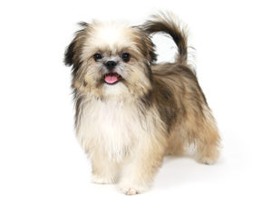 エムドッグス,動物プロダクション,ペットモデル,ペットタレント,モデル犬,タレント犬,MIX犬,豆彦,まめひこ