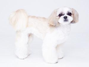 エムドッグス,動物プロダクション,ペットモデル,ペットタレント,モデル犬,タレント犬,シーズー,ミレイ