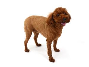 エムドッグス,動物プロダクション,ペットモデル,ペットタレント,モデル犬,タレント犬,トイプードル,メア
