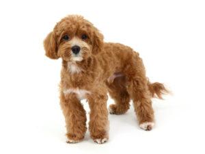 エムドッグス,動物プロダクション,ペットモデル,ペットタレント,モデル犬,タレント犬,MIX犬,レブロン