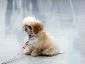 エムドッグス,動物プロダクション,ペットモデル,ペットタレント,モデル犬,タレント犬,プードル,ふわり