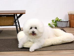 エムドッグス,動物プロダクション,ペットモデル,ペットタレント,モデル犬,タレント犬,ビションフリーゼ,コットン