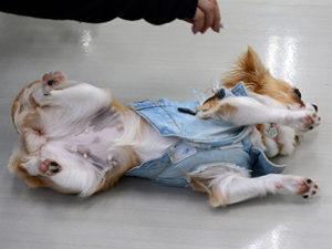 エムドッグス,動物プロダクション,ペットモデル,ペットタレント,モデル犬,タレント犬,チワワ,くぅ