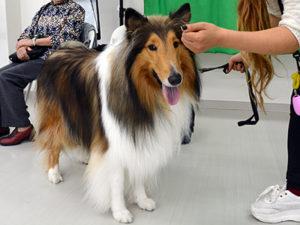 エムドッグス,動物プロダクション,ペットモデル,ペットタレント,モデル犬,タレント犬,ラフ・コリー,こはく
