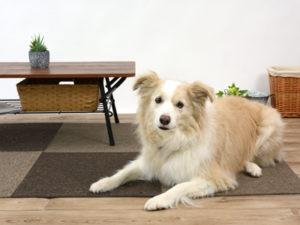 エムドッグス,動物プロダクション,ペットモデル,ペットタレント,モデル犬,タレント犬,ボーダーコリー,キララ
