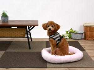 エムドッグス,動物プロダクション,ペットモデル,ペットタレント,モデル犬,タレント犬,トイプードル,るび