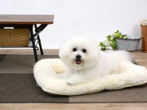 エムドッグス,動物プロダクション,ペットモデル,ペットタレント,モデル犬,タレント犬,ビションフリーゼ,ソーム