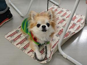 エムドッグス,動物プロダクション,ペットモデル,ペットタレント,モデル犬,タレント犬,チワワ,シシィ
