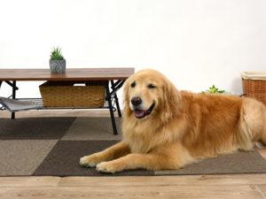 エムドッグス,動物プロダクション,ペットモデル,ペットタレント,モデル犬,タレント犬,ゴールデンレトリーバー,すみれ