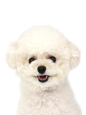 エムドッグス,動物プロダクション,ペットモデル,ペットタレント,モデル犬,タレント犬,トイプードル,リリー