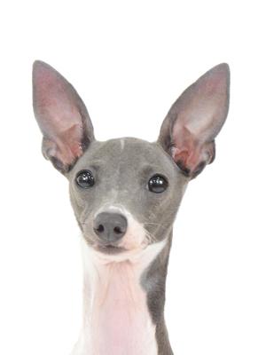 エムドッグス,動物プロダクション,ペットモデル,ペットタレント,モデル犬,タレント犬,イタリアングレーハウンド,Lucia,ルチア