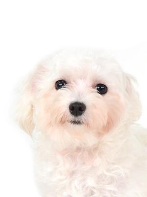 エムドッグス,動物プロダクション,ペットモデル,ペットタレント,モデル犬,タレント犬,マルチーズ,Mimi,ミミ