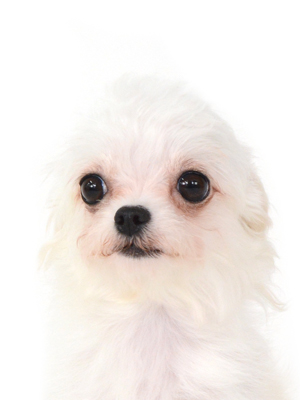 エムドッグス,動物プロダクション,ペットモデル,ペットタレント,モデル犬,タレント犬,マルチーズ,Carina,カリーナ