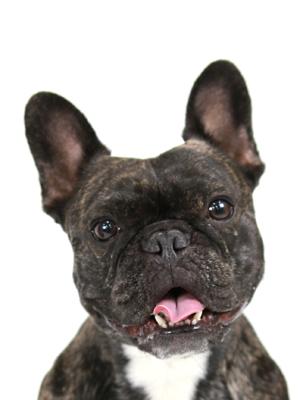 エムドッグス,動物プロダクション,ペットモデル,ペットタレント,モデル犬,タレント犬,フレンチブルドッグ,ふぁんとむ