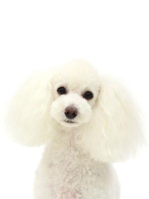 エムドッグス,動物プロダクション,ペットモデル,ペットタレント,モデル犬,タレント犬,トイプードル,ポップ