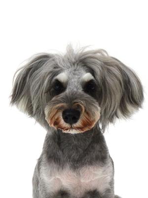 エムドッグス,動物プロダクション,ペットモデル,ペットタレント,モデル犬,タレント犬,ミニチュアシュナウザー,まりも