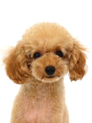 エムドッグス,動物プロダクション,ペットモデル,ペットタレント,モデル犬,タレント犬,トイプードル,アニモ