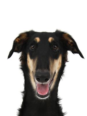 エムドッグス,動物プロダクション,ペットモデル,ペットタレント,モデル犬,タレント犬,ボルゾイ,Doris,ドリス