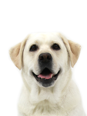 エムドッグス,動物プロダクション,ペットモデル,ペットタレント,モデル犬,タレント犬,ラブラドールレトリーバー,遊,ゆう