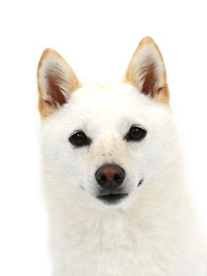 エムドッグス,動物プロダクション,ペットモデル,ペットタレント,モデル犬,タレント犬,柴犬,ここ