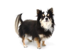 エムドッグス,動物プロダクション,ペットモデル,ペットタレント,モデル犬,タレント犬,チワワ,ドゥルキス