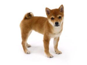 エムドッグス,動物プロダクション,ペットモデル,ペットタレント,モデル犬,タレント犬,柴犬,ふうか