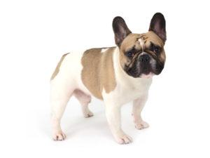 エムドッグス,動物プロダクション,ペットモデル,ペットタレント,モデル犬,タレント犬,フレンチブルドッグ,Steve,スティーブ