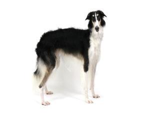 エムドッグス,動物プロダクション,ペットモデル,ペットタレント,モデル犬,タレント犬,ボルゾイ,Lucille,ルシール