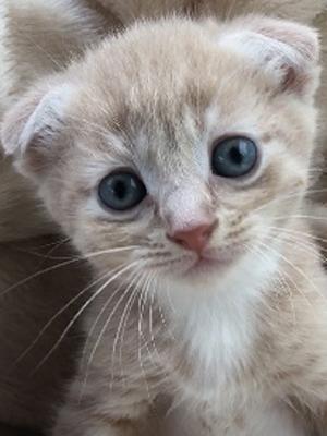 エムドッグス,動物プロダクション,ペットモデル,ペットタレント,モデル猫,タレント猫,スコティッシュフォールド,子猫