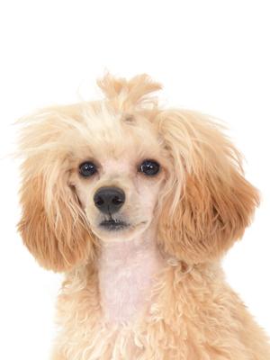 エムドッグス,動物プロダクション,ペットモデル,ペットタレント,モデル犬,タレント犬,トイプードル,LIEN,リアン