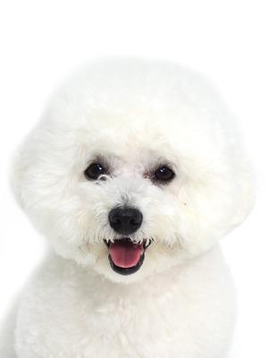エムドッグス,動物プロダクション,ペットモデル,ペットタレント,モデル犬,タレント犬,ビションフリーゼ,Jenny,ジェニー