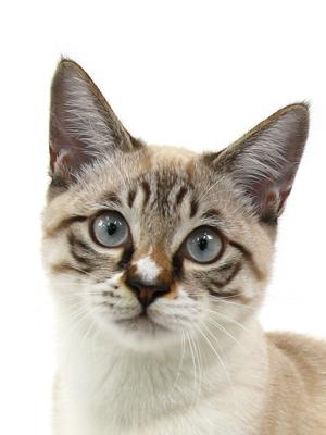 エムドッグス,動物プロダクション,ペットモデル,ペットタレント,モデル猫,タレント猫,シャムトラ,ネル