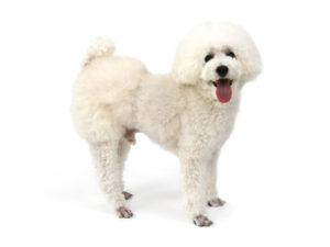 エムドッグス,動物プロダクション,ペットモデル,ペットタレント,モデル犬,タレント犬,トイプードル,だいふく