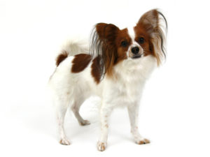 エムドッグス,動物プロダクション,ペットモデル,ペットタレント,モデル犬,タレント犬,パピヨン,くるみ