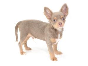 エムドッグス,動物プロダクション,ペットモデル,ペットタレント,モデル犬,タレント犬,チワワ,アブー