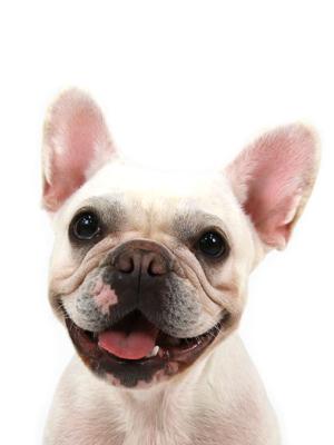 エムドッグス,動物プロダクション,ペットモデル,ペットタレント,モデル犬,タレント犬,フレンチブルドッグ,プリティシュガードール