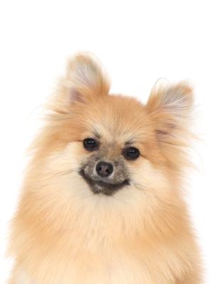 エムドッグス,動物プロダクション,ペットモデル,ペットタレント,モデル犬,タレント犬,ポメラニアン,むぎ