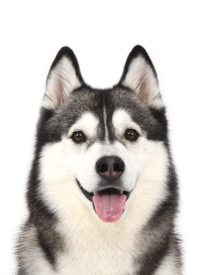 エムドッグス,動物プロダクション,ペットモデル,ペットタレント,モデル犬,タレント犬,シベリアンハスキー,のの