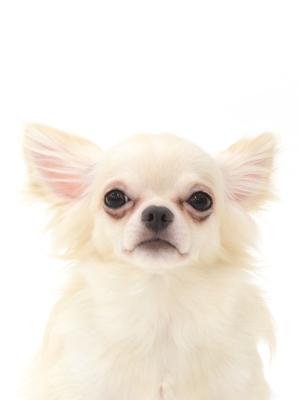 エムドッグス,動物プロダクション,ペットモデル,ペットタレント,モデル犬,タレント犬,チワワ、とろろ