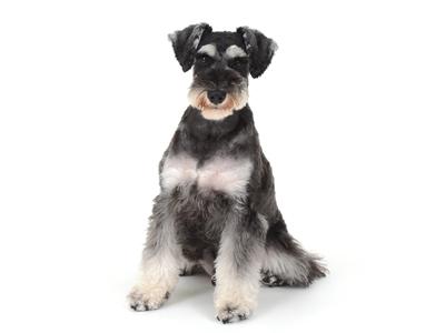 エムドッグス,動物プロダクション,ペットモデル,ペットタレント,モデル犬,タレント犬,ミニチュアシュナウザー,瞬,しゅん