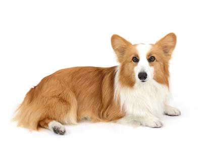 エムドッグス,動物プロダクション,ペットモデル,ペットタレント,モデル犬,タレント犬,ウェルシュコーギーペンブローク,こまち